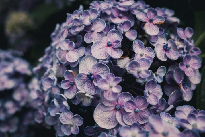close up photo of purple hydrangea flowers